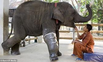 elefante-protesis-imagen1