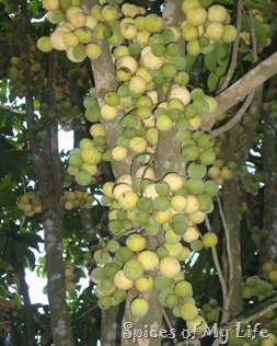 lanzones tree