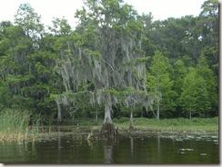 Boggy creek cypress