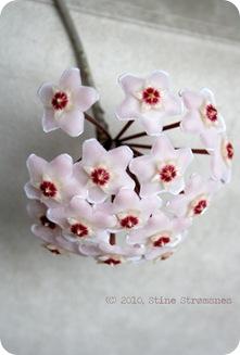 porselensblomst