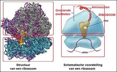 ribosoom2