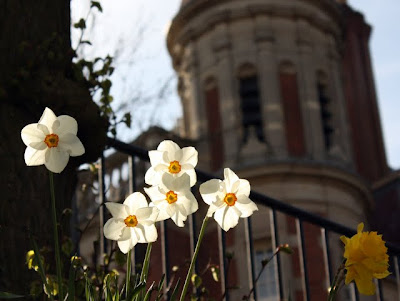 White daffodils in the spring in Hampstead London