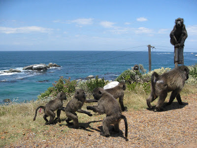 Monkeys on Cape Point in Cape Town South Africa