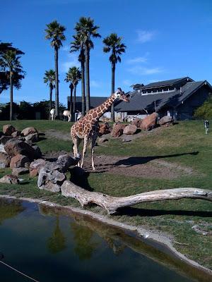 Giraffe at San Francisco Zoo