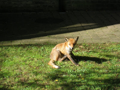 Fox in garden in London