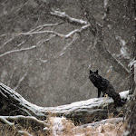 Black Phase Red Fox in Snowstorm.jpg