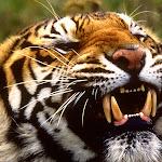 Bengal Tiger, Bangladesh, Nepal, India.jpg
