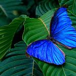 Blue Morpho Amathonte.jpg