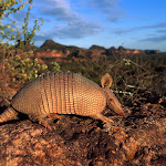 Brazilian Lesser Long-Nosed Armadillo.jpg