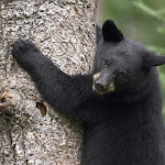 Black Bear Cub, Orr, Minnesota.jpg