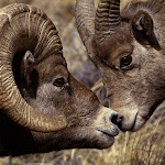 Big Horn Ram and Ewe.jpg