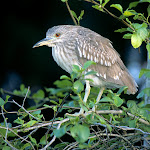 Black-Crowned Night Heron.jpg