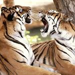 Bengal Tigers.jpg