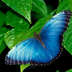 Blue Morpho.jpg