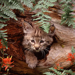 Bobcat Kitten in Hollow Log.jpg