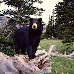 Black Bear on Stump, Montana.jpg