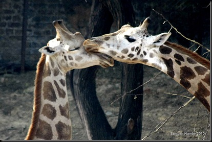 Giraffe-1