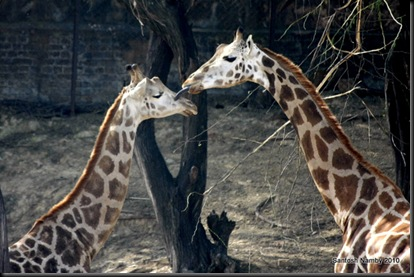 Giraffe-2