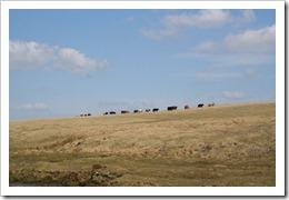 ROUGH-TOR-PHOTOSHOOT-COWS-2