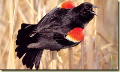 Red-Winged%20Blackbird