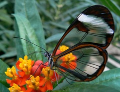 clear-wings-South-American-butterfly