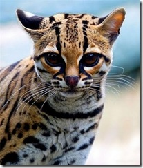 margay-tiger-cat-1
