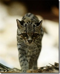 margay-tiger-cat-3