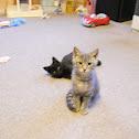 Black cat and Tiger Cat