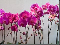 orchidsHK