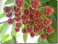 Hoya - gracilis (3)