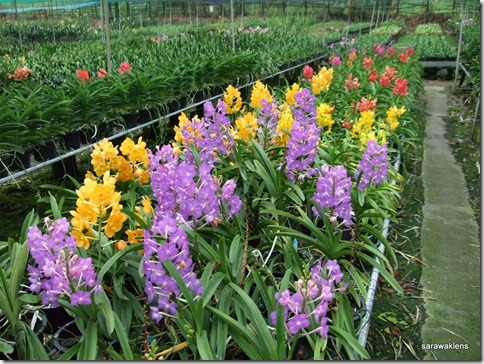 Orchid_hybrids