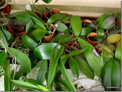 Phalaenopsis_seedlings_update (2)