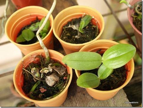 Phalaenopsis_gigantea_x_bellina_seedlings