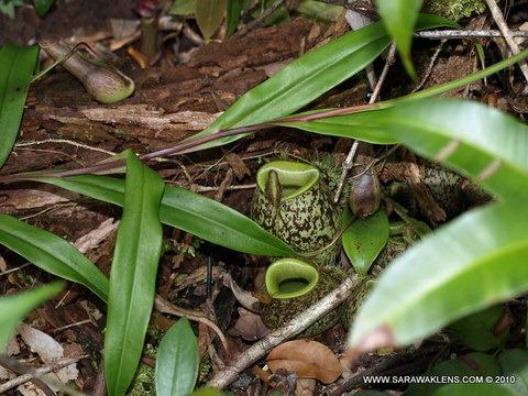 Nepenthes_ampullaria_945