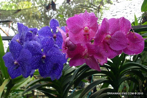 Vanda_pachara_delight_and_pures_magic_1