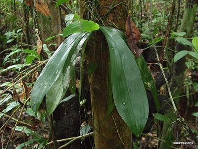 Phalaenopsis_corningiana4
