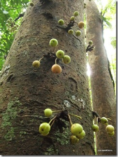 ficus-fig-tree-fruits