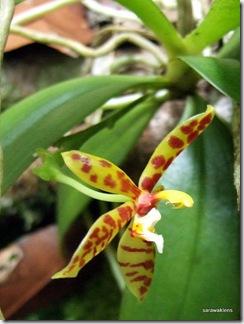 phalaenopsis cornu cervi 1