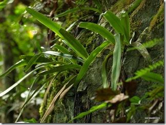 Paphiopedilum_stonei_in_natural_habitat_091120_07