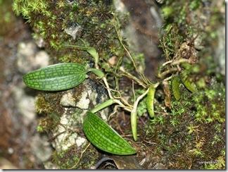 Bulbophyllum_reticulatum_3