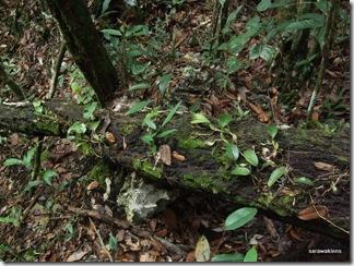 Bulbophyllum_reticulatum_1