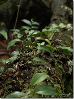 Bulbophyllum_reticulatum_5