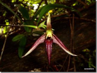 Bulbophyllum_cleistogamum_09