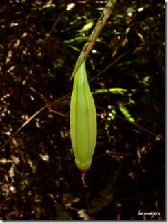 Bulbophyllum_cleistogamum_10