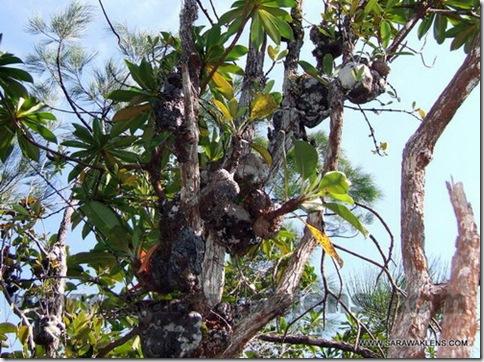 Myrmecodia_tuberosa_ant_plant_2