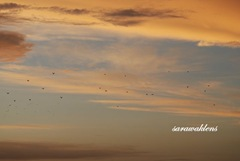 Birds, sunset