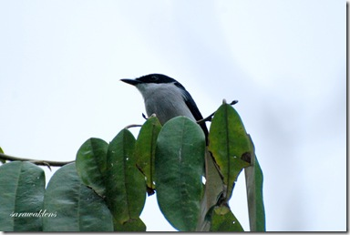 Black_winged_flycatcher_shrike_3