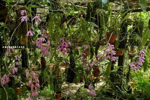 Dendrobium_anosmum