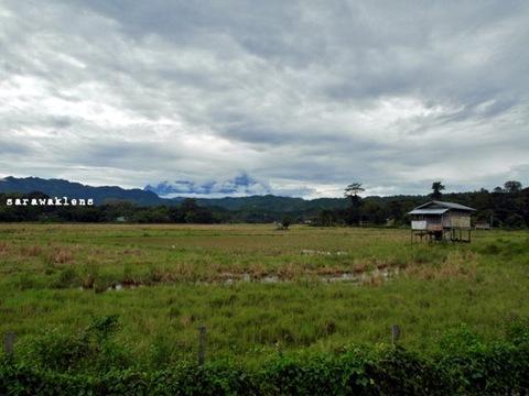 rice_field_padi_sabah
