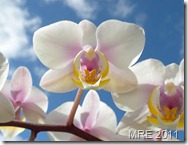 orchid_07_by_Adrastia217
